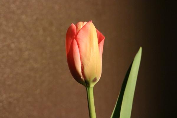 Tulip-1.jpg