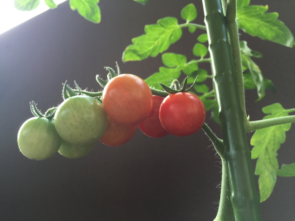 tomato-201606-1.jpg